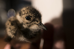 Lapwing chick (gizmo-the-bandit) Tags: uk green bird nature wildlife lapwing plover peewit