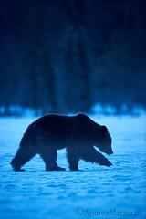 Finnish night (andrea.marzorati) Tags: bear brown snow cold night finland mammal north