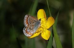 Bluling (Hugo von Schreck) Tags: macro butterfly outdoor makro schmetterling bluling onlythebestofnature tamron28300mmf3563divcpzda010 canoneos5dsr hugovonschreck