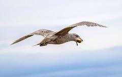 Young Glaucous gull catching bread in the air(Larus hyperboreus) / Hvtmfur (thorrisig) Tags: seagulls bird birds island iceland gulls fugl sland seabird fuglar