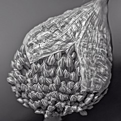 Encased (brev99) Tags: blackandwhite flower macro closeup bud allium woodwardpark d7100 ononesoftware nikviveza tamron180f35 photoshopelements12 perfecteffects9 perfectphotosuite9