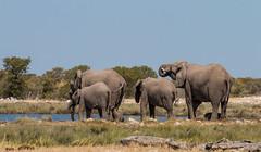 Elephants at Etosha (Randy K2) Tags: park elephant national namibia etosha