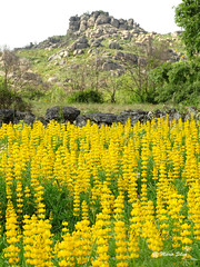 guas Frias (Chaves) - ... flores campestres ... (Mrio Silva) Tags: flores primavera portugal paisagem chaves aldeia trsosmontes 2016 junho madeinportugal ilustrarportugal guasfrias mriosilva lumbudus