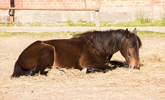 Another lazy horse (Yvonne L Sweden) Tags: horse animal spring sweden may maj hst taxinge