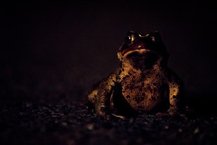 The things that go bump in the night (Jon.the.canadian) Tags: life lighting wild nature animals night newfoundland outdoors back wildlife dramatic amphibian frog toad nightlife lightning