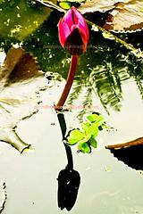 lotus-reflection (prem swaroop) Tags: flowers its lotus indian temperature nelumbo regulate sacredlotus nucifera beanofindia