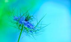 Love in a Mist! (paulapics2) Tags: flower garden nature green blue nigella loveinamist blumen floral flora pretty delicate bokeh dof canon5d sigma105mm raggedlady ranunculaceae whisps ferny earlysummer annual