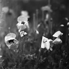 poppies (imagine540) Tags: hasselblad planar20110 rolleiretro80s 6x6