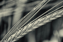 Wet Behind The Ears (Mirrored-Images) Tags: blackandwhite bw macro nature monochrome field barley closeup mono outdoor farm refraction waterdrops silverefexpro