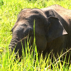 Elephants at Minneriya (Richard Whitaker) Tags: elephant forest nationalpark wildlife trunk srilanka habitat minneriya