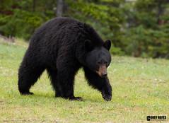 Black-Bear (Corey Hayes) Tags: bear wild canada black art nature grass forest healthy large jaspernationalpark wildlifephotography coreyhayes