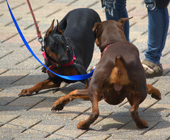 Meet and Greet (swong95765) Tags: dogs bodylanguage meeting communication leash greeting connecting reacting