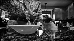 breakfast time (Dave (d stop - the photon whisperer)) Tags: dog breakfast brittany time cereal cheerio brittanyspaniel littledoglaughedstories littledoglaughednoiret