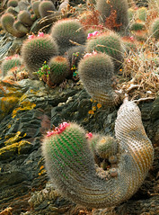 Neoporteria subgibbosa (Umadeave) Tags: chile cactus montagne plante flora chili desert flore pichilemu eriosyce subgibbosa neoporteria