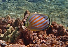ornate butterflyfish (Skeptic14) Tags: bay diving maui snorkeling kapalua ornate butterflyfish