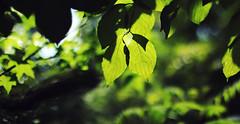 24/31 (Mary Jo.) Tags: light summer plants tree green nature leaves canon photography 50mm bokeh mj maryjo 60d