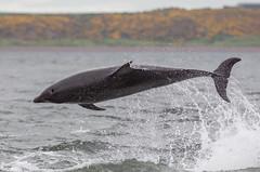 Bottlenose Dolphin (Allan Drewitt) Tags: uk point scotland dolphin breaching moray firth chanonry bottlenose tursiopstruncatus