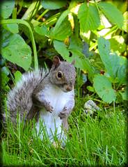 DSCN9617 (DianeBerky19) Tags: summer backyard nikon squirrels birdfeeder peanuts greysquirrels coolpixp900