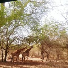 Giraffes Giraffe Senegal Senegalese Savana Savanah Africa African Safari (fedeanimation) Tags: africa giraffes giraffe senegal savanah africansafari savana senegalese