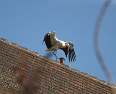 Dachballet / Ballet on the roof (fotio14) Tags: natur sachsen dach storch whitestork ciconiaciconia weisstorch