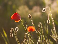 Poppies in Setting Sun (accakoka) Tags: red wild sun flower nature backlight canon golden spring bokeh poppy poppies backlit setting shining 70200mm 400d 702004lisusm