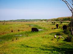 de_muy (Joerg Esper) Tags: nature landscape kuh cow cows natur olympus nl landschaft texel khe noordholland niederlande galloway decocksdorp demuy olympusomdem1 olympus124028 olympusmzuikodigitaled1240mm128pro