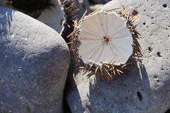Spikey (animaldelmar) Tags: holiday stones rocks seaurchin urchin spikes shell sardinia italy beach sun
