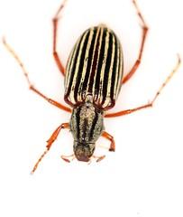lh 762 copy (mcclarinj) Tags: ecuador napo scarabaeidae melolonthinae macrodactylus jimmcclarin cosanga macrodactylini