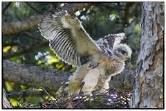 Red Tail Hawk chick on his nest (RKop) Tags: kentucky ky highlandcemetery fortmitchel a77mk2 minolta600mmf4apog raphaelkopanphotography