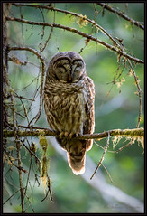 Dreamin (Pius Sullivan) Tags: tree green nature canon outdoors branch owl barred
