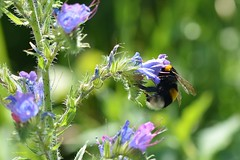 Macro__- (Ivo Markes) Tags: macro nikon ape fiori fiore