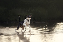 Water is Sam's best friend :-) (alessandrafavetto) Tags: dog pet pets color dogs water puddle outdoors dogphotography petphotography dogportrait petphotographer dogphotographer