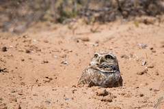 """""""Gotta keep an eye for danger from above.  My babies need safekeeping!"""" (Squirrel Girl cbk) Tags: newmexico bird may athenecunicularia burrowingowl 2016"""