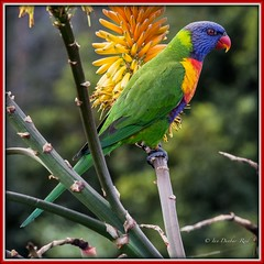 Rainbow Lorikeet (idunbarreid) Tags: rainbow lorikeet