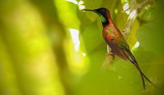Topaza pella (Aisse Gaertner) Tags: brazil bird birds brasil nikon hummingbird p900 coolpix birdwatching birdwatcher topazapella blinkagain