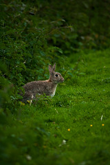 Hare_2 (GrelaM) Tags: animal hare outdoor