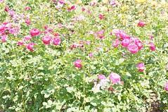 11822931_10153099677352076_6138479696064030143_o (jmac33208) Tags: park new york roses rose garden central schenectady