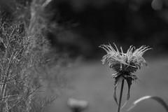 floral form, blossom, Biltmore Estate, Asheville, NC, Nikon D40, nikon nikkor 105mm f-4, 6.15.16 (steve aimone) Tags: floral form blossom flower biltmoreestate asheville northcarolina nikond40 nikonnikkor105mmf4 nikonprime primelens blackandwhite monochrome macro