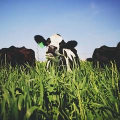 159 | 366 | V {explore} (Randomographer) Tags: light sunlight green grass animal happy prime day natural eating grow explore alive bovine 159 366 project366