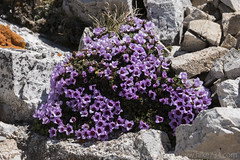 """Alpine flower • <a style=""""font-size:0.8em;"""" href=""""http://www.flickr.com/photos/63501323@N07/27442939946/"""" target=""""_blank"""">View on Flickr</a>"""