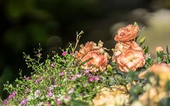 Garden delight (*Capture the Moment*) Tags: pink flowers green dof bokeh grn 2016 farbdominanz sonya7ii zeissbatis1885