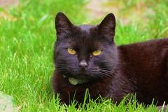Bat cat (tenkemartin) Tags: black cat blackcat cuteness yelloweye