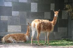 06-IMG_2144 (hemingwayfoto) Tags: anden berlin fressen heu hochanden kamel kamele lama lamavicunia landwirtschaft liegend natur nordchile nutztier panther sugetier sdamerika schwielensohler stehend tier vicunia wild wolle zoo zucht
