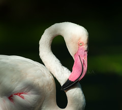 2016-06-22 P8890808 African Greater Flamingo - please view large [Explored] (Tara Tanaka Digiscoped Photography) Tags: greaterflamingo bird gh4 nikon300mm28 manualfocus bokeh pink dof jacksonvillezoo depth field animal mirrorless nikkor300mm28