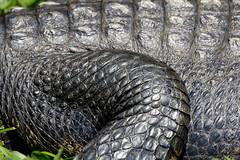 National Zoo  (1291) Alligator (smata2) Tags: zoo gator reptile alligator nationscapital smithsoniannationalzoo itsazoooutthere zoosofnorthamerica