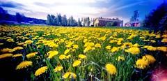 Summertime (Foide) Tags: pinhole dandelion estenopeica stenope ondu ostrobothnia