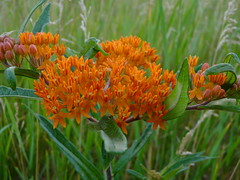 Butterfly Weed (Dendroica cerulea) Tags: orange plant flower newjersey spring nj meadow rutgersuniversity apocynaceae milkweed wildflower asclepias butterflyweed asclepiastuberosa middlesexcounty gentianales rutgersecologicalpreserve asclepiadoideae livingstoncampus asclepiadeae asclepiadinae