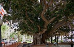 ES-0761-30052016-11'18 (eduard43) Tags: spanien spain alicante 2016 natur nature baum tree gummibaum rubbertree ficuselastica