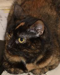 Ball of Fur (samfeinstein) Tags: cat nikon d750 babycat 2470 sooc