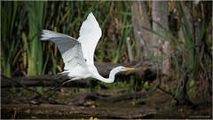 Egret - Explored June 20, 2016 (Chris Lue Shing) Tags: ontario canada tree bird nature action flight aurora newmarket greategret bif birdinflight mckenziemarsh nokiidaatrail nikond7100 tamronsp150600mmf563divcusd chrislueshing